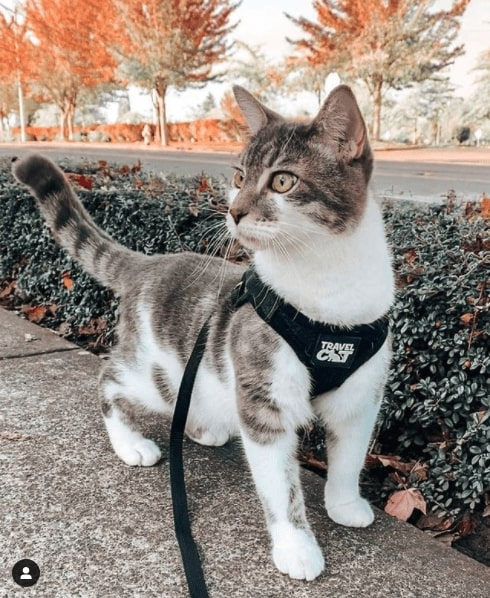 Grey and white cat walking outside. It is wearing a Travel Cat harness with a leash attached. In the background is a green bush and orange trees