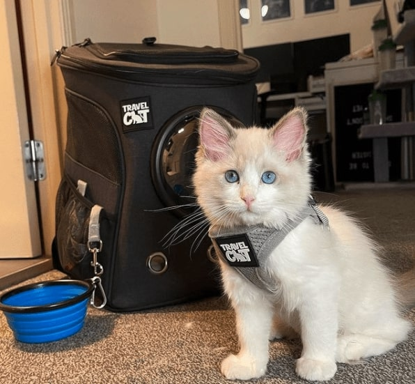 White kitten sitting with a grey Travel Cat harness on. Behind it is a black Travel Cat backpack with a blue silicon bowl